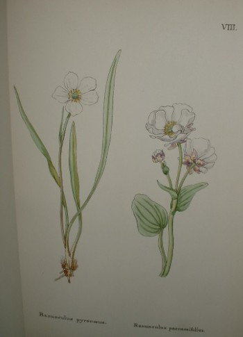 Image for FLOWERS OF THE ENGADINE DRAWN FROM NATURE